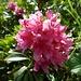 Immer wieder schön, die Alpenrose!
