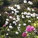 Eriofori e rododendri, l'estate è qui...