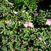 Rosa glauca. Rosaceae.