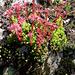 Sempervivum tectorum. Crassulaceae.<br />