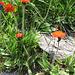 Crepis aurea. Asteraceae.<br /><br />Radicchiella aranciata.<br />Crépide orangée.<br />Gold-Pippau.