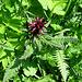Pedicularis recutìta. Orobanchaceae (Scrophulariaceae p.p.)<br /><br />Pedicolare alata.<br />Pediculaire tronquée.<br />Gestutzles Läusekraut.