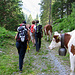 Le mucche si avviano verso Guferen per essere munte.