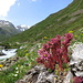 Blumenpracht im Val Tasna