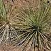 Canyon-Pflanzen