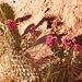 ...und noch in der Blütenpracht...