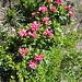 die Alpenrosen blühen