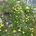 Alpine Vollblüte. Hier Alpen-Wundklee (Anthyllis vulneraria ssp. alpstris), Quirlblättriges Läusekraut (Pedicularis verticillata) und Bewimperter Mannsschild (Androsace chamaejasme)