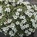 Blume des Tages: Schweizer Mannsschild (Androsace helvetica)