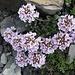 Rundblättriges Täschelkraut (Thlaspi repens ssp. rotundifolium)