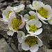 Alpen-Hahnenfuss (Ranunculus alpestris)