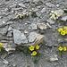 Auf dem Albristhore: Blumen des Tages 2 und 3.