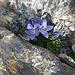Mont Cenis-Glockenblume (Campanula cenisia), angetroffen kurz nach dem Albristhore auf dem Grat zum Nachgipfel.