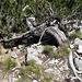 Die zweite Abseilstelle: Latschenbaum + Bohrhaken... hält auch für Schwergewichte