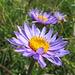 Blumen in allen Farben, hier wohl eine Alpen-Aster