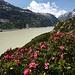 Erste Alpenrosen