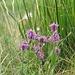 Betonica comune o Erba Betonica (Stachys officinalis)