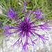 Filigrane Flockenblume