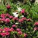 Alpenrosen und weiße Lilien