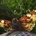 Schmetterling im Gegenlicht der Abendsonne. Ein Distelfalter?<br /><br />Farfalla in controluce della sera: una Vanessa cardui?