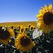 Santo Domingo de la Calzada - Villamayor del Río, 25. Juli: auf dieser Etappe wechseln sich Sonnenblumenfelder, die meist in voller Blüte stehen, mit Getreidefeldern ab.