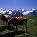 Die Kühe im Berner Oberland weiden vor traumhafer Kulisse.