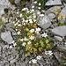 Art mit grünlicher Blüte: Moschus-Steinbrech (Saxifraga moschata)<br />Art mit weisser Blüte: Felsen-Leimkraut (Silene rupestris)