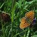 Die Schmetterlinge zu bestimmen fällt mir schwer und kostet viel, viel Zeit...Das hier könnte ein Braunfleckiger Perlmutterfalter (Boloria selene) sein..<br /><br />I nomi delle farfalle per me sono molto difficili e mi richiede molto tempo di trovarli. Questo potrebbe essere una Boloria selene...