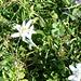 Edelweiss I