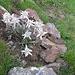 Stelle alpine trapiantate...speriamo riescano a sopravvivere e creare altre piante