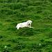 immer wachsam, die Schafe zu verteidigen