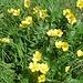 Ranuncolo montano (Ranuncolo montanus )
