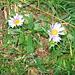 Aster alpinus. Asteraceae.<br /><br />Astro alpino.<br />Aster des Alpes.<br />Alpen-Aster