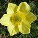 Alisso alpestre Famiglia:Brassicaceae<br />Diffusione:Raro - Solo nelle Alpi Occidentali, Alpi Marittime fino al vallese. 1500-3000 m. Epoca fioritura:Giugno - Luglio Altezza pianta:5 - 25 cm.<br />Tipo di pianta:Perenne Descrizione:Fiori gialli di circa 5 mm. di diametro. Foglie basali a rosetta lunghe 5-10 mm. tendenti al grigio.<br />Habitat:Rupi e terreni sassosi caldi.<br />(http://tredicroppo.forumfree.it/?t=36883127)