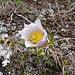 La Pulsatilla vernalis è una pianta erbacea perenne nota anche con il nome comune di Anemone primaverile.<br />Questa è una pianta che si può riscontrare in montagna (1200 - 2400 m) che fiorisce immediatamente dopo la scomparsa della neve. Ama i terreni erbosi e sassosi che possono essere costituiti da calcare ma anche da silice.<br />(Wikipedia)
