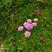 Die Blumenpracht am Hochschwab ist, derzeit, überwältigend