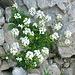 Hutchinsia alpina,  Crocifere.