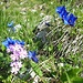 An den Hängen des Bäralplkopfs wachsen und gedeihen schöne Blumen; hier Mehlprimeln und Enziane