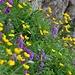 Alpenflora auf dem Brisi