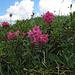 Der Bergfrühling ist hier so richtig ausgebrochen, es blüht in allen Farben und Varianten. Unter anderem gibt es Alpenrosen zu bestaunen...
