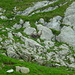 Ein Steinbock schrubbert seine Hörner am Fels