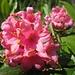 Fiori di Rododendro