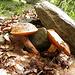 Feree - Boletus luridus - Ottimi con lo spezzatino...