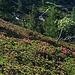 Alpenrosenfelder am Pizzo Ruscada