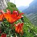 Auf dem Mörderwegli blühen die Feuerlilien um die Wette