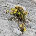 <b>Ambretta strisciante o Cariofillata delle pietraie (Geum reptans).</b>