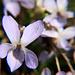 Viola rupestris (???)