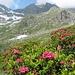 Rododendri nel pieno della fioritura