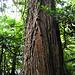 Der sieht tatsächlich wie ein Seqoia (Mammutbaum) aus.