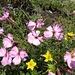Stein-Nelke (Dianthus sylvestris)